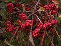 Euonymus europaeus fruit 1.jpg