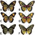 Euphaedra cyparissa adult males - ZooKeys-298-001-g001.jpg