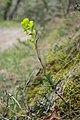Euphorbia amygdaloides in Aveyron (12).jpg