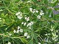 Euphorbia corollata (19674972323).jpg