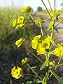 Euphorbia esula (s. str.) sl5.jpg