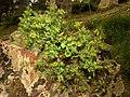 Euphorbia flavicoma (8754244963).jpg