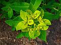 Euphorbia helioscopia 002.JPG