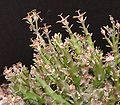 Euphorbia polycephala.jpg