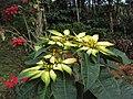 Euphorbia pulcherrima 03.JPG