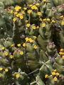 Euphorbia resinifera.jpg