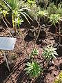 Euphorbia stygiana - Botanischer Garten, Frankfurt am Main - DSC02363.JPG