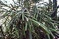 Euphorbia tirucalli 8zz.jpg