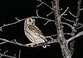 Eurasian Scops-owl (Otus scops) (34779223590).jpg