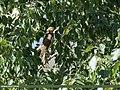 Eurasian Sparrowhawk (Accipiter nisus) (46212477001).jpg
