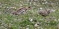 Eurasian Thicknee pair - Along Po river - Italy FJ0A1058 (28252435938).jpg