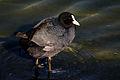 Eurasian coot (Fulica atra) 3.jpg