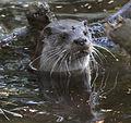 European Otter (5697021626).jpg