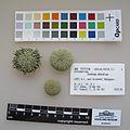 Evechinus chloroticus MA77716.jpg