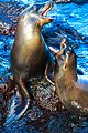 Excursion to a lagoon on the N side of Isla Santa Fe - Galapagos Sea Lions - or enemies?? (16068494054).jpg