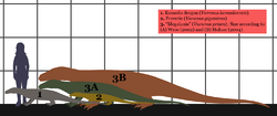 Extant Monitor lizards-Megalania SIZE.png