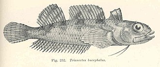 Bullhead triplefin - Image: FMIB 45739 Trianectes bucephalus