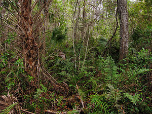 Undergrowth in the Fakahatchee Strand State Preserve