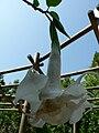 Fale - Giardini Botanici Hanbury in Ventimiglia - 524.jpg