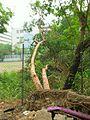 Fallen Leucaena leucocephala in Hong Kong.jpg