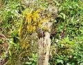 Fan-tailed Cuckoo. Cacomantis flabelliformis (48842512207).jpg