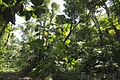 Fan palms at Wyvuri4 (11560371853).jpg
