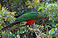 Female King Parrot.jpg