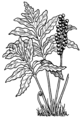 Fern1 (PSF).png
