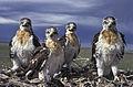 Ferruginous Hawks (23619911180).jpg