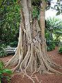 FicusAurea04 Asit.jpg