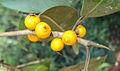 Ficus Microcarpa 10.JPG