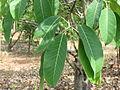 Ficus Tsjahela 11.JPG