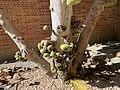 Ficus UCLA.jpg