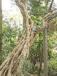 Ficus glaberrima