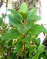Ficus thonningii, loot met blare, c, Waterberg.jpg