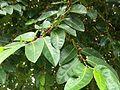 Ficus tinctoria mati.jpg