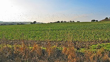 English: Field of kale. Clouds of pigeons abov...