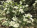 Fig Tree, അത്തിമരം.JPG