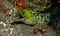 Fimbriated Moray (Gymnothorax fimbriatus) (8464709009).jpg