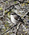 Fiscal Flycatcher (Sigelus silens) female (32688654155).jpg