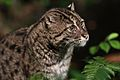 FishingCat-NightSafari-Singapore-20100110.jpg