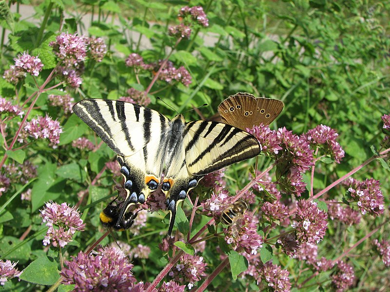 A scarce swallowtail (Iphiclides podalirius) and an Aphantopus hyperantus at the rear