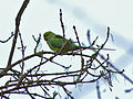 Flickr - Duncan~ - Ring Necked Parakeet.jpg