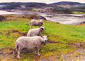 Flickr - Per Ola Wiberg ~ mostly away - Triple Sheep.jpg