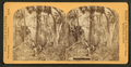 Florida hammock, from Robert N. Dennis collection of stereoscopic views.png
