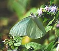 Florida white butterfly (5871668300).jpg