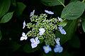 Flower, Hydrangea - Flickr - nekonomania (23).jpg