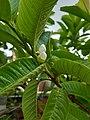 Flower of Guava Plant 03.jpg