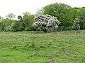 Flowering crab apple tree (Malus sylvestris) - geograph.org.uk - 1310092.jpg