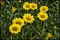 Flowering in Yellow-1 (20978701801).jpg